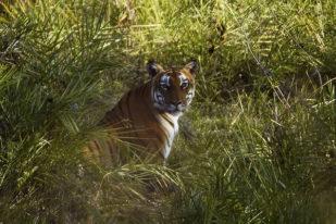 Tigre au parc de Bandipur - Chitwan national Park