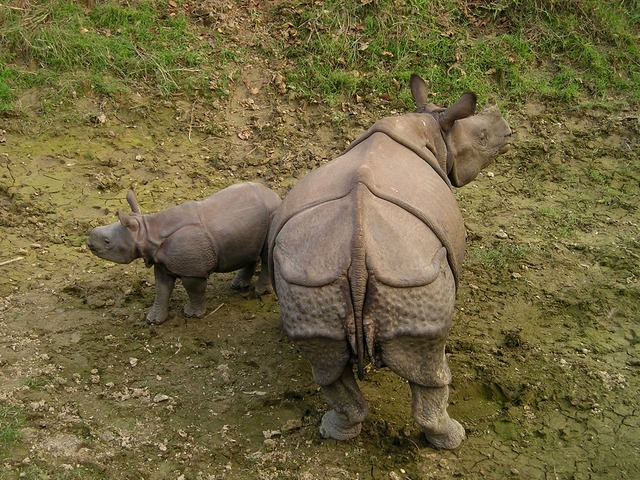 rhinocéros au népal